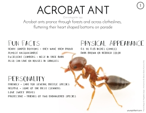 01_Acrobat Ant-01