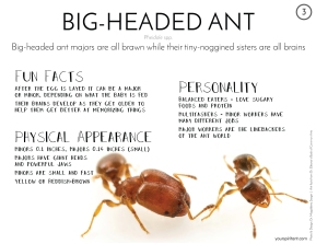 03_Big-Headed Ant-01