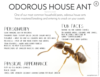 08_Odorous House Ant-01